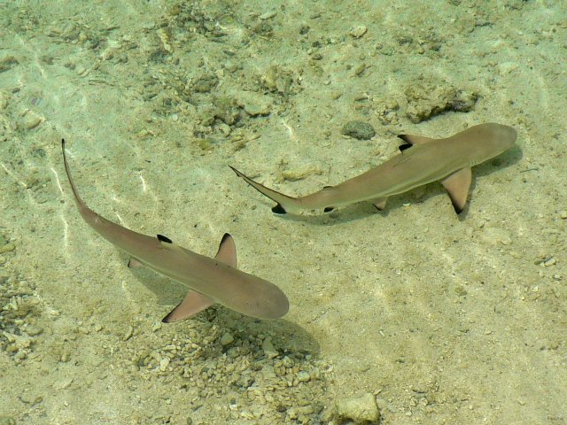 Two blacktip reef sharks in the Tetiaroa lagoon
