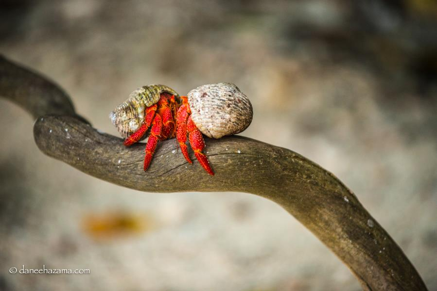 strawberry hermit crabs meeting on a branch