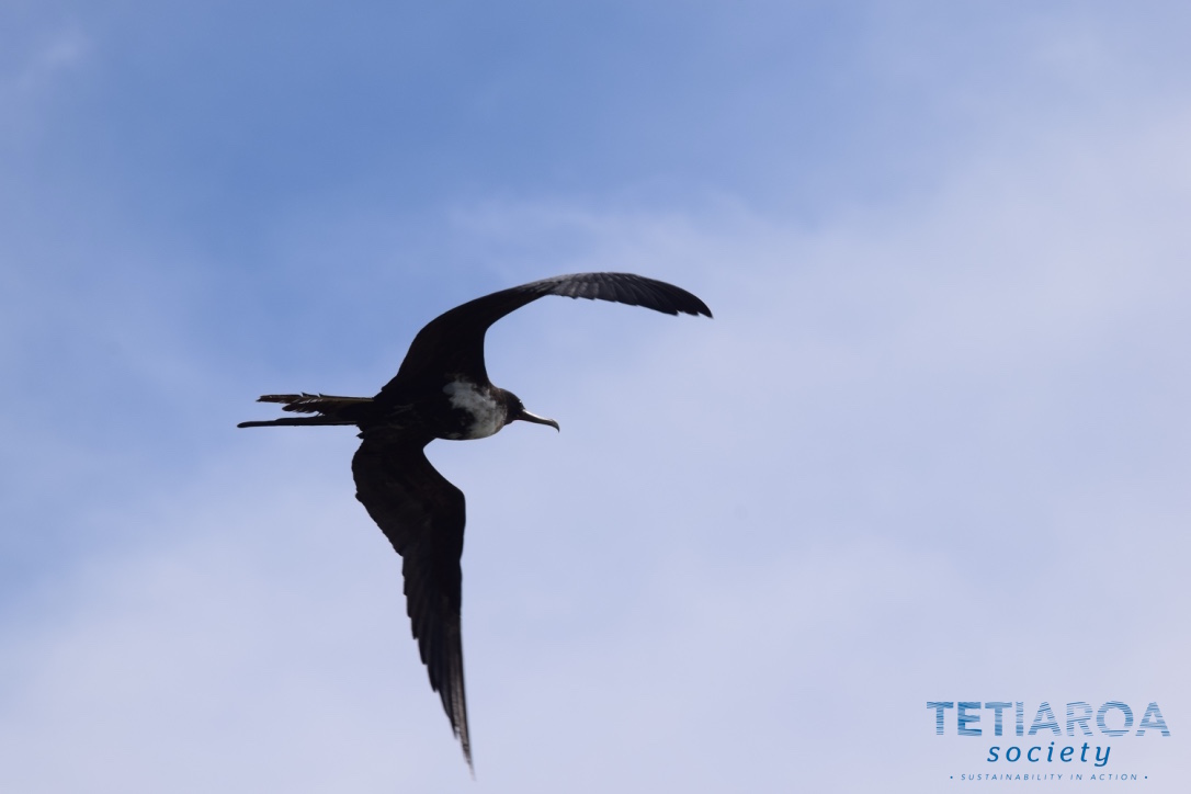 frigatebird in the air