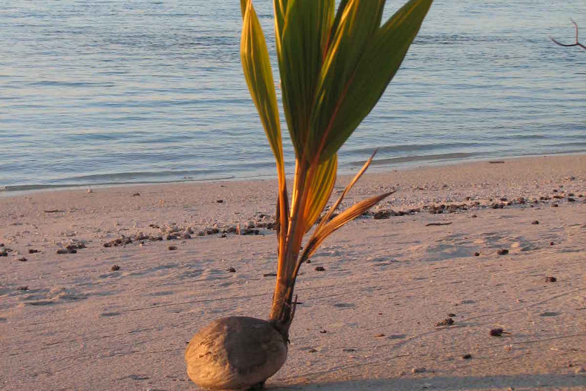 baby coconut tree
