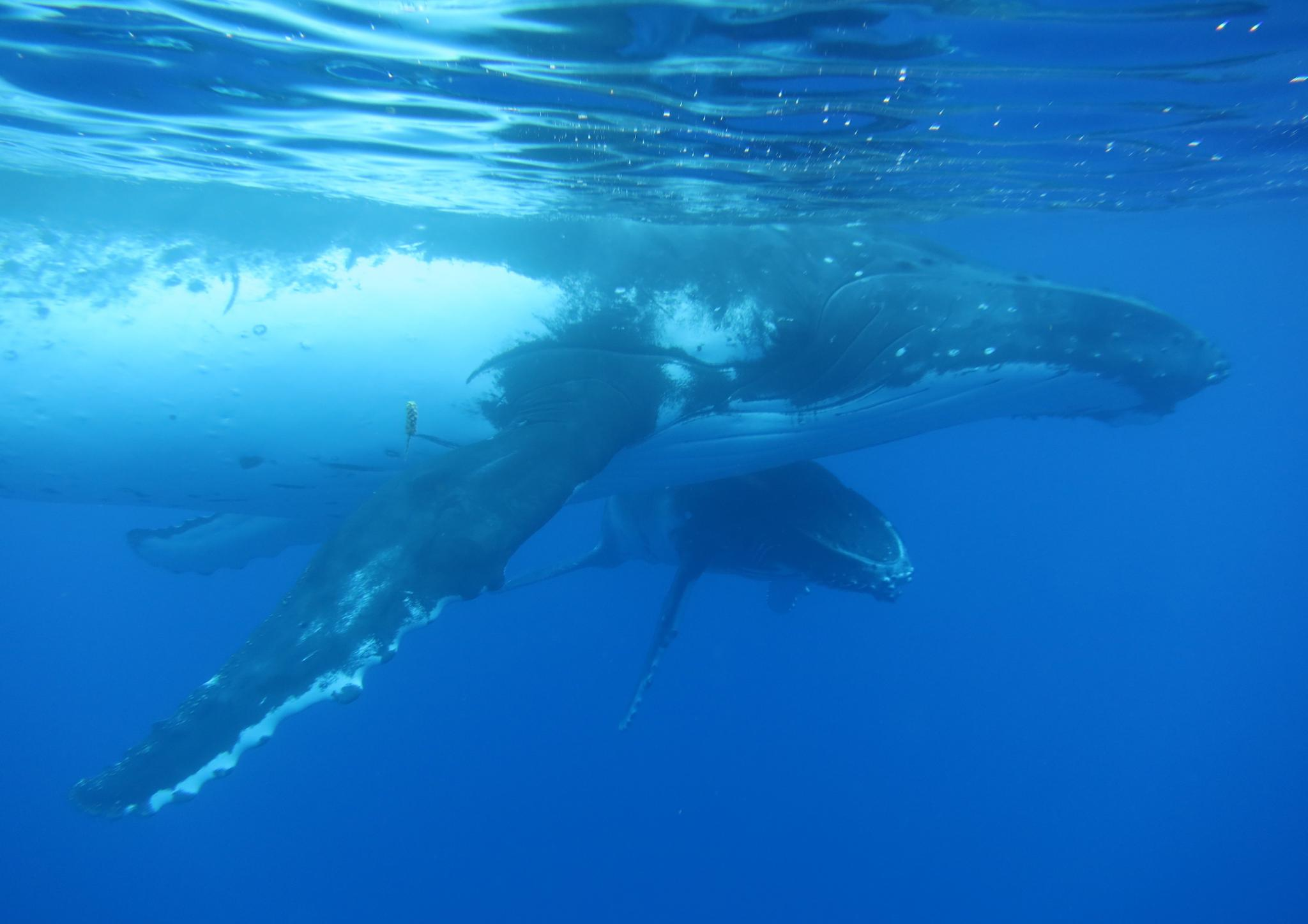 humpback mama and calf