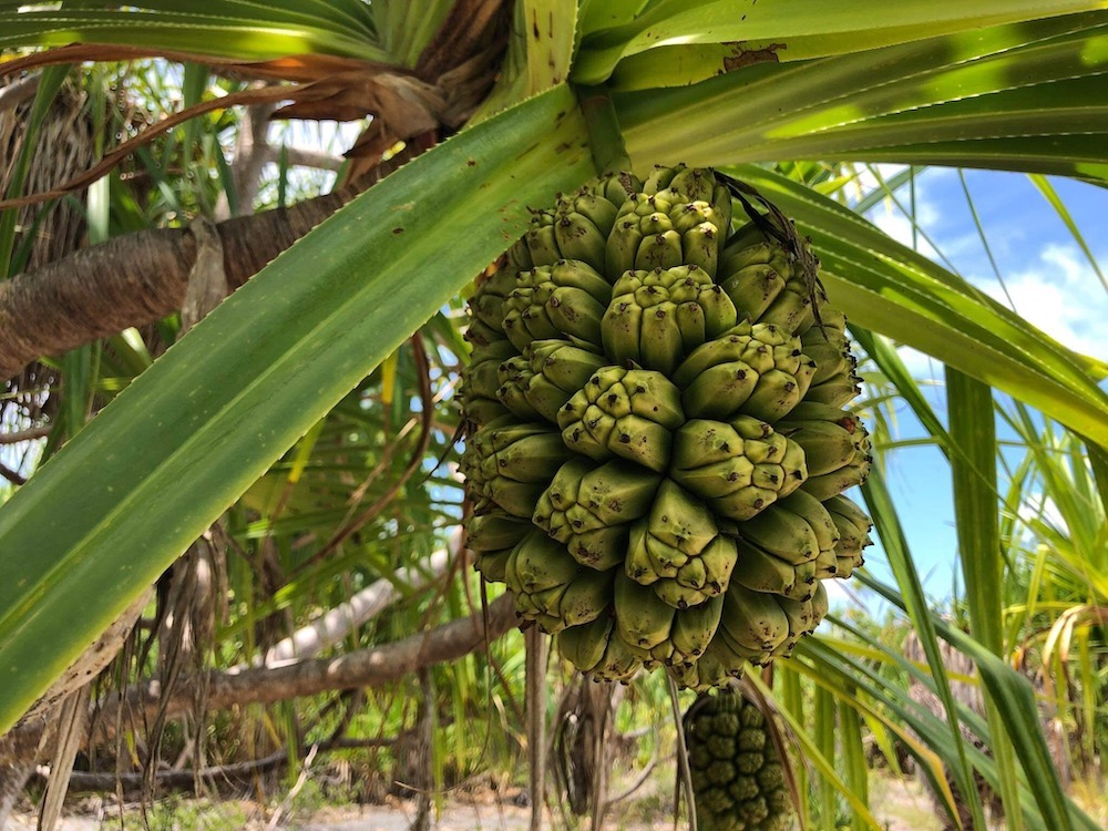 green pandanus fruit