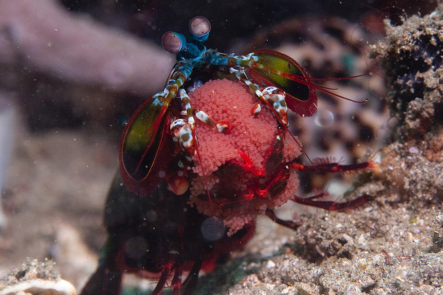 Mantis shrimp guarding its eggs