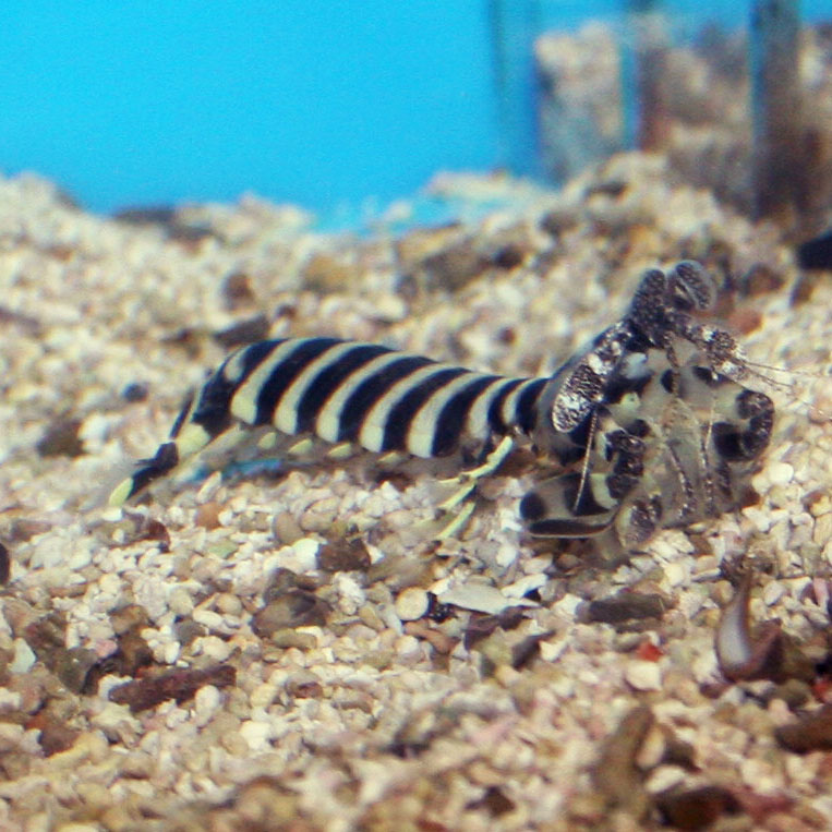 Zebra mantis shrimp out of its burrow