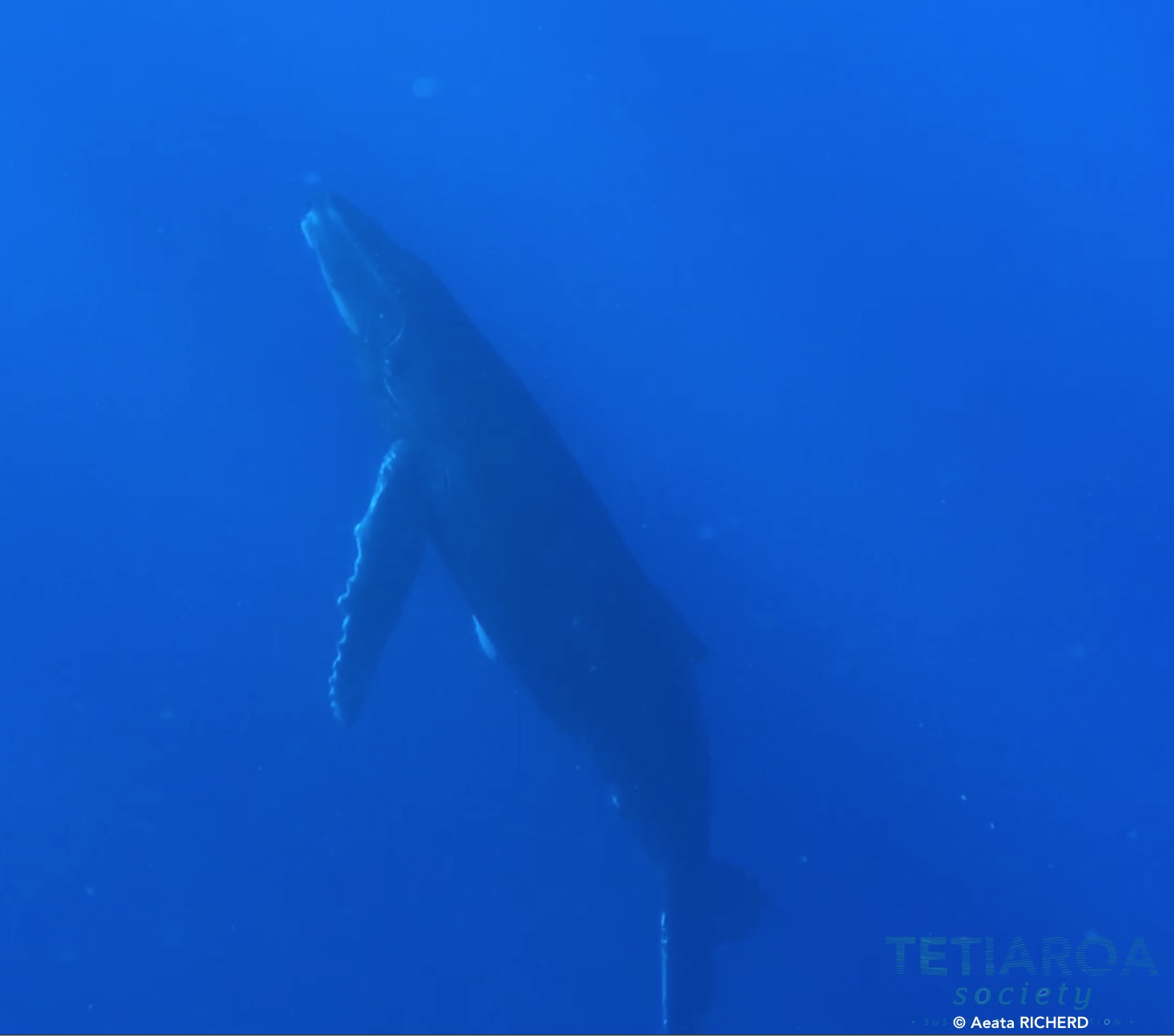 Young humpback whale heading towards the surface