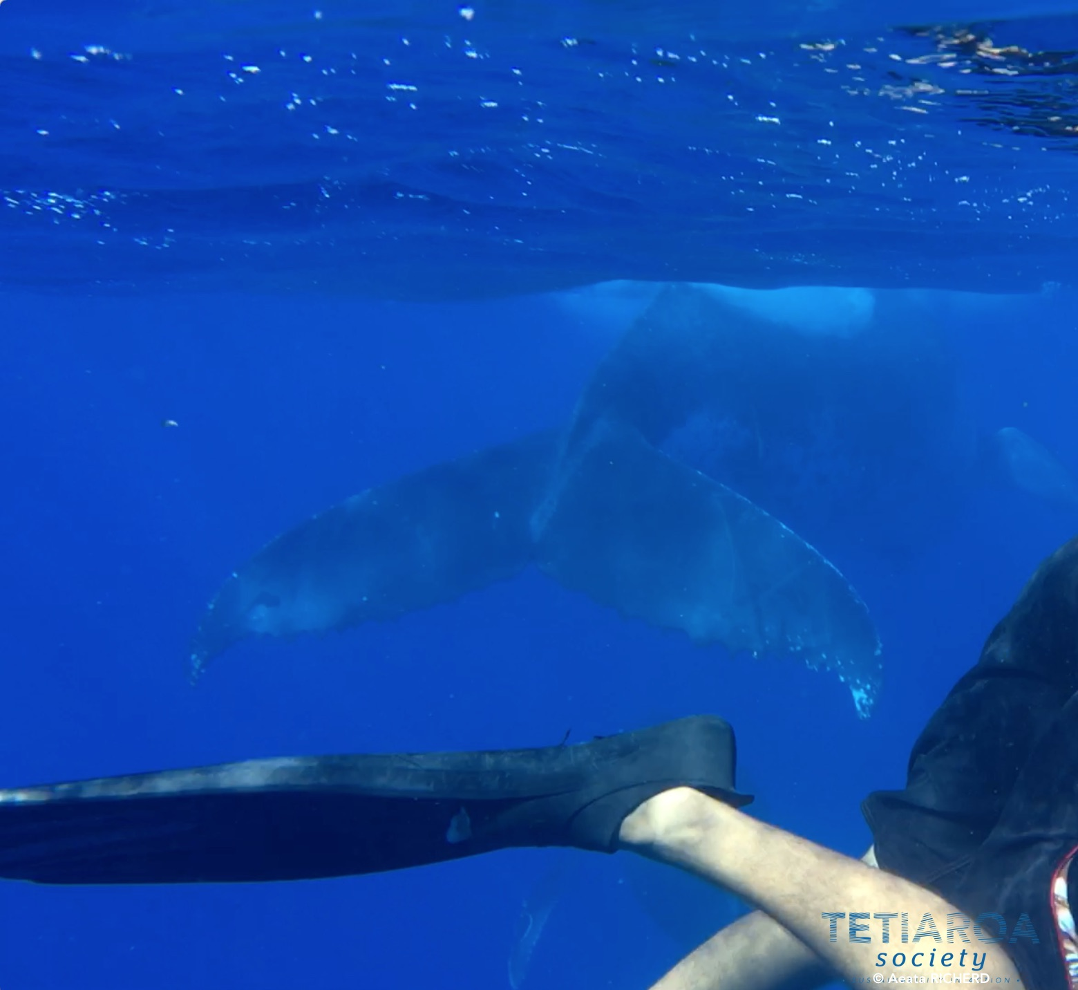 swimming with humpback whales off Tetiaroa