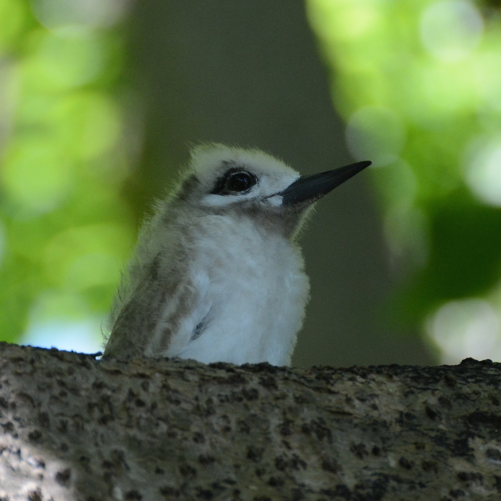 baby white tern in the Pisonia forest on motu Reiono