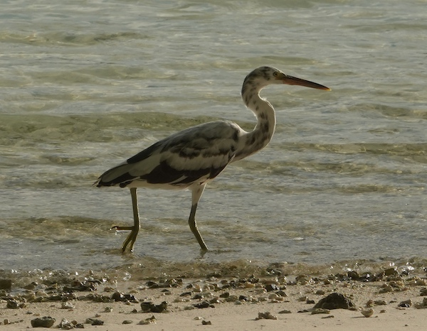mottled reef egret