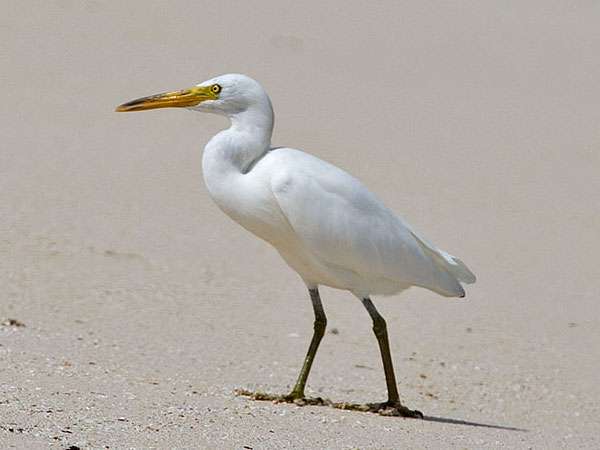 white reef egret