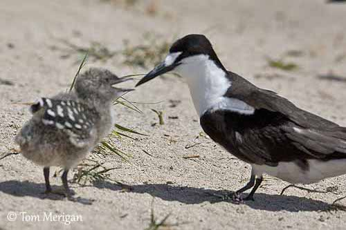 sooty tern with chick