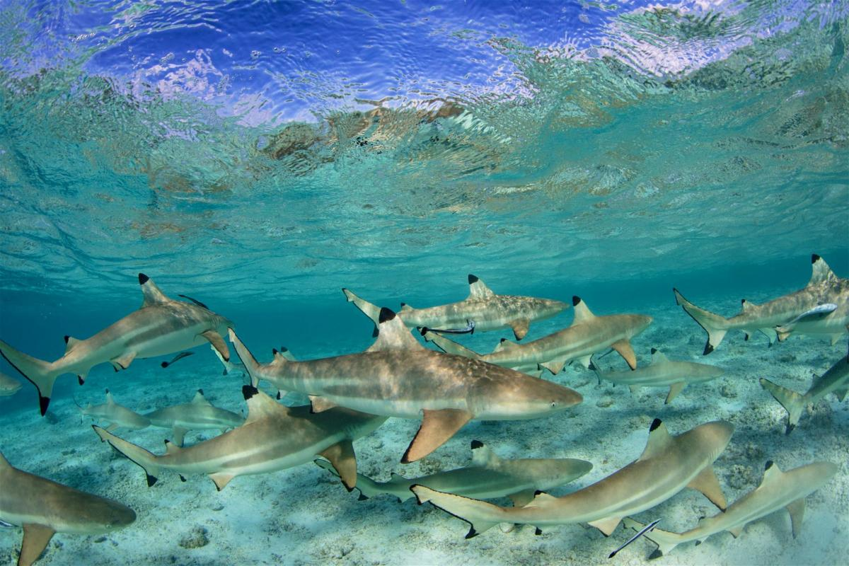 blacktip sharks in French Polynesia