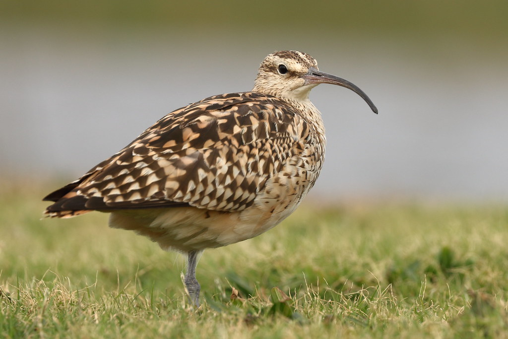 fattened-up curlew