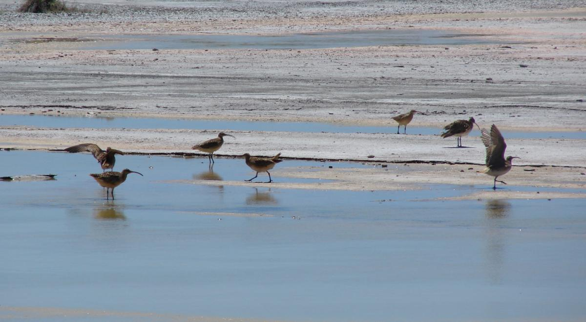 foraging curlews