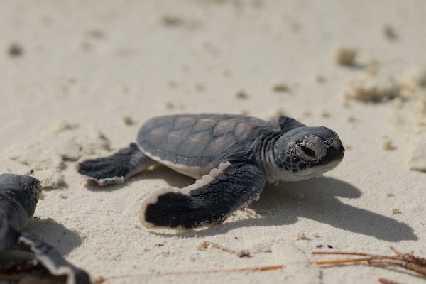 Baby turtles on their way to the lagoon are easy prey for invasive rats