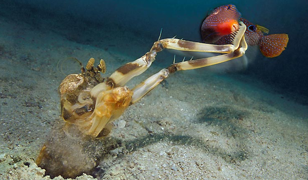 A mantis shrimp catching fish
