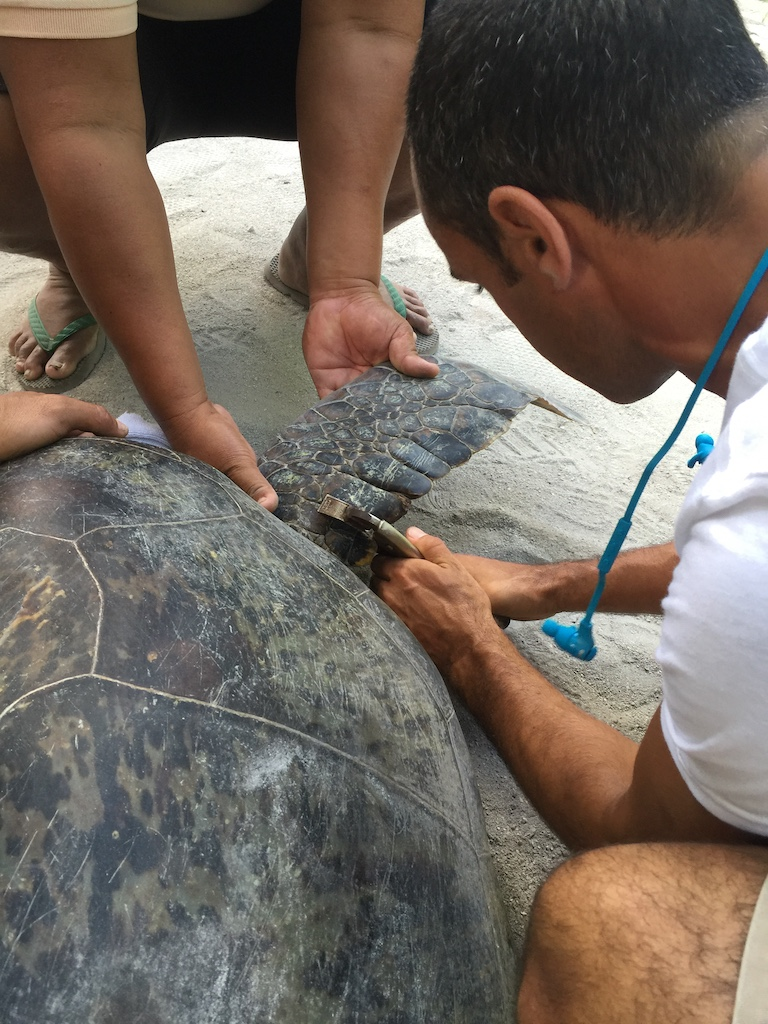 turtle tagging