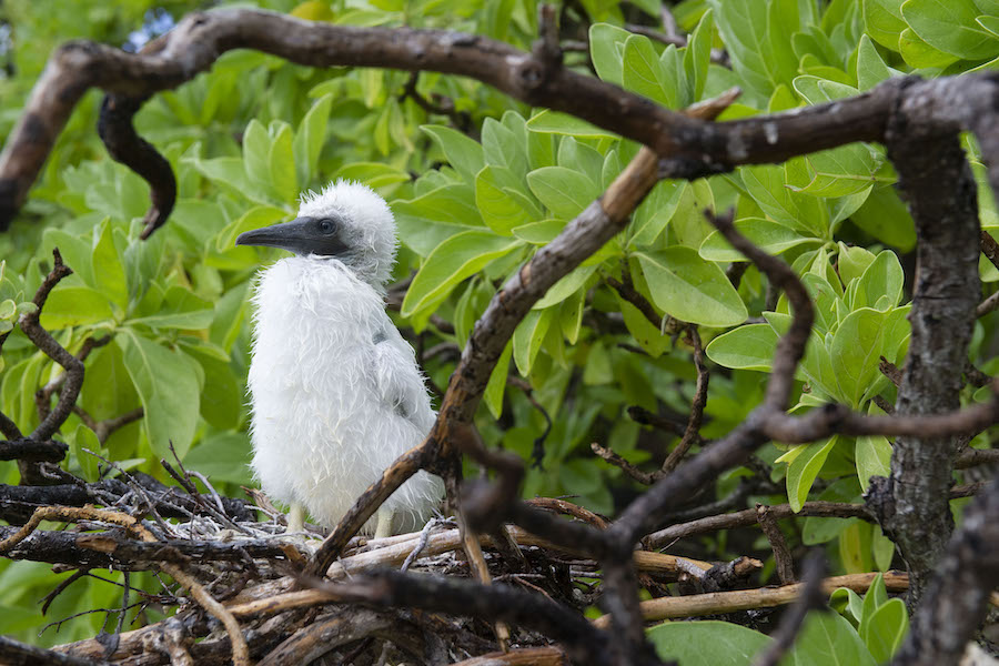 juvenile booby in a Pisonia tree