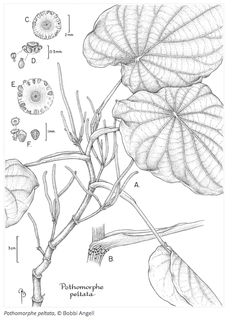 plant drawing showing different scale structures