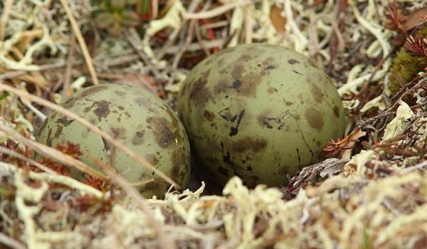 bristle-thighed curlew eggs
