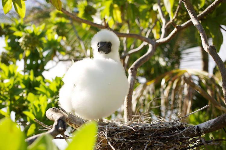 one young booby