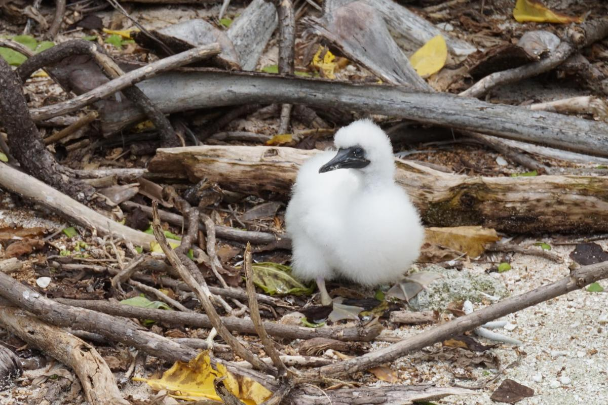 Red footed booby tetiaroa society for Ktp fishing report
