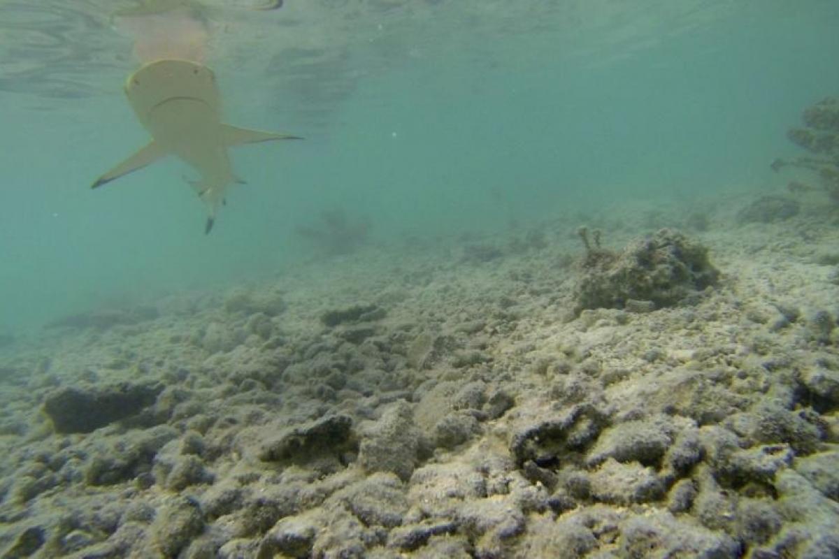 Baby black tip reef shark - photo#45