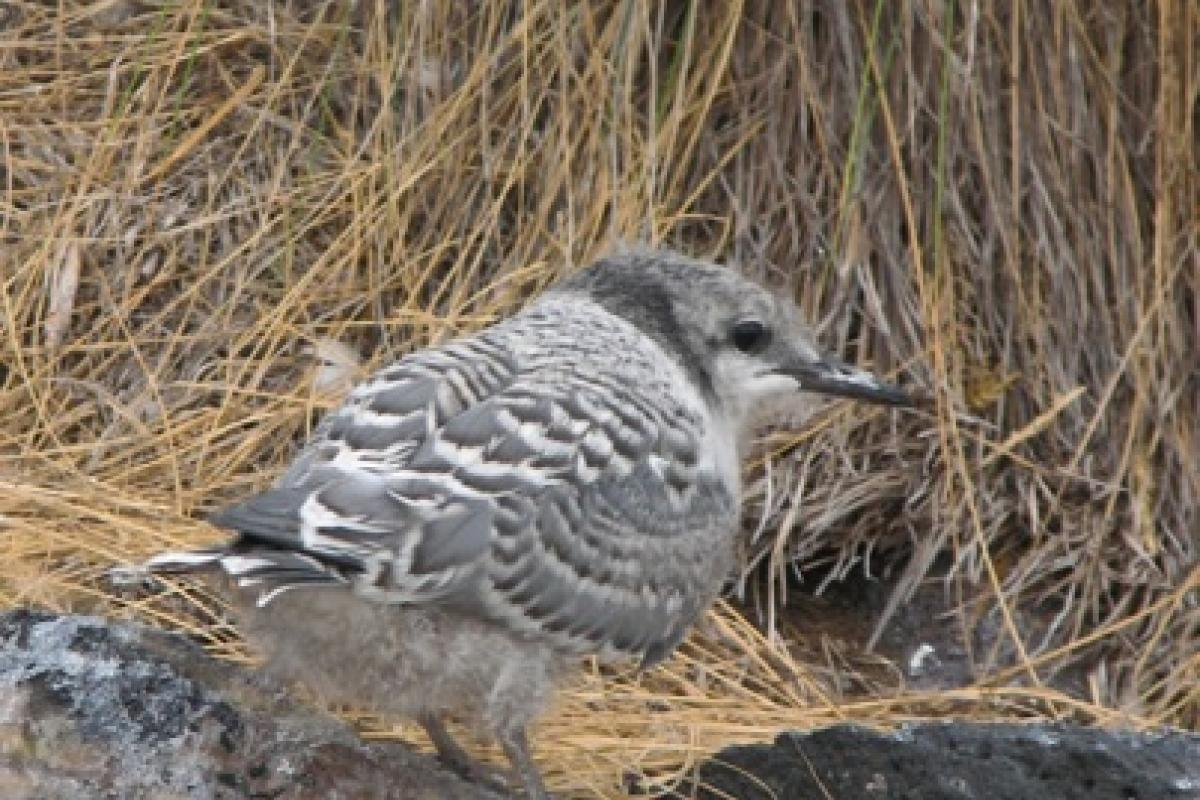 Grey-Backed Tern chick
