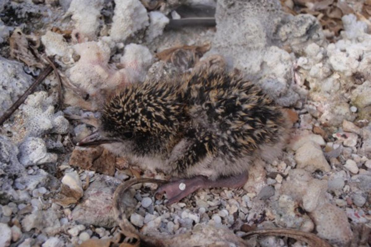 A Sooty Tern chick