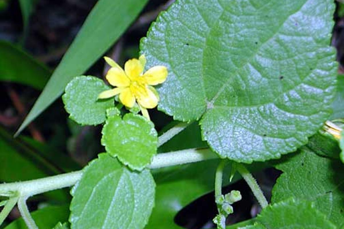 Triumfetta vine tetiaroa society small yellow flowers mightylinksfo