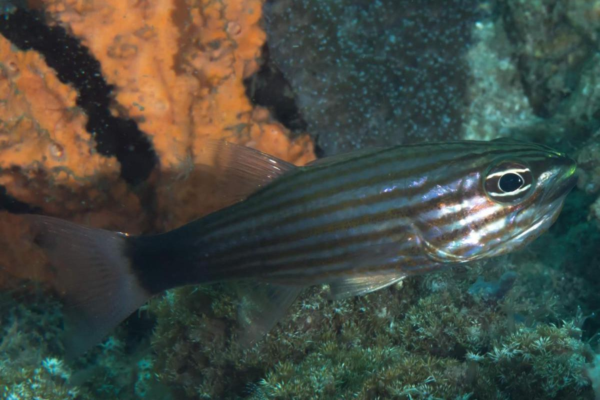 Lined cardinal fish - even the eye has lines