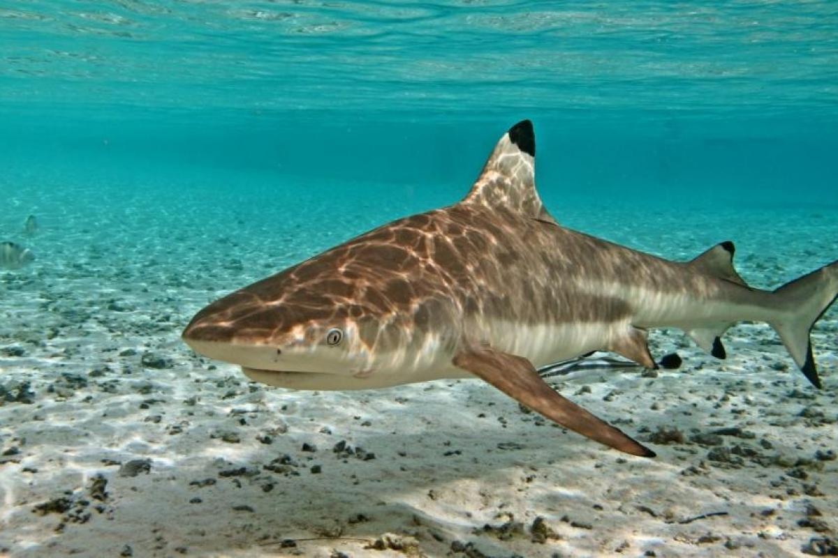 Adult blacktop reef shark