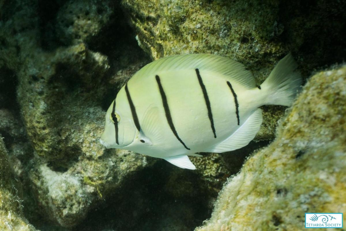 Convict surgeon fish are commonly observed in coral rich areas
