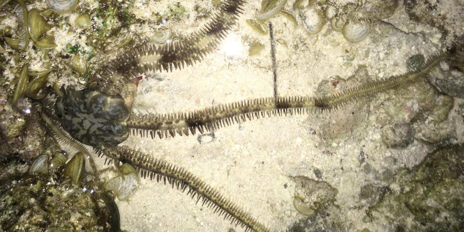 brittle star at night
