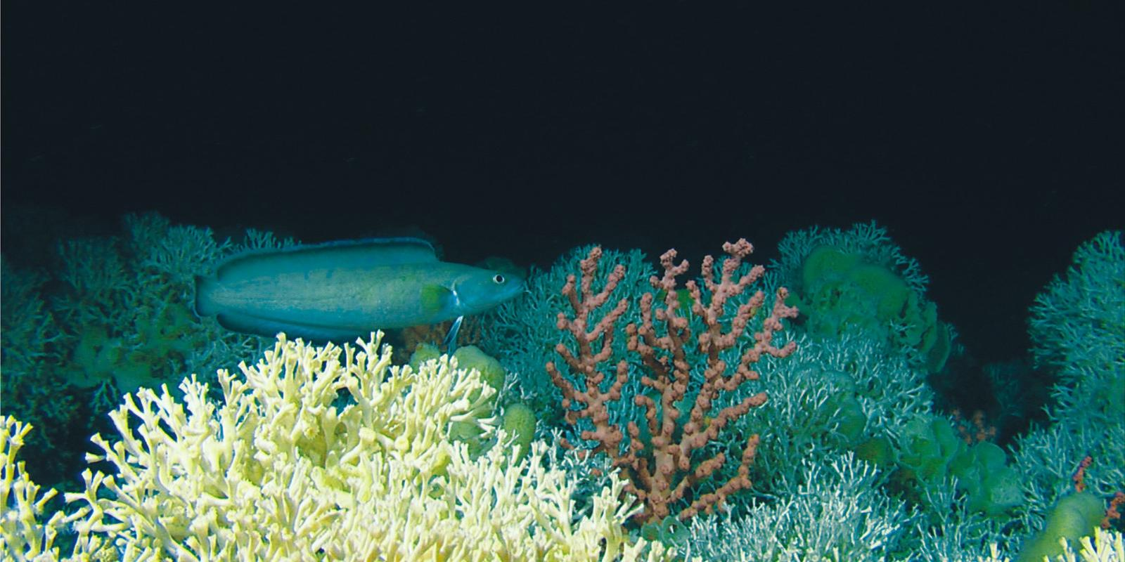 deep sea coral reef
