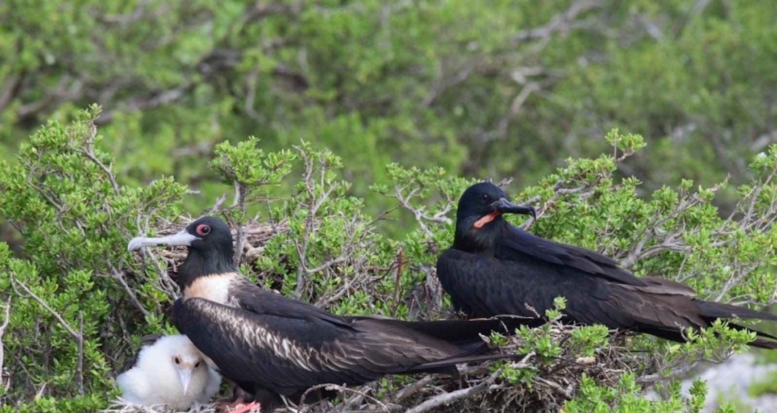 A family of frigatebirds