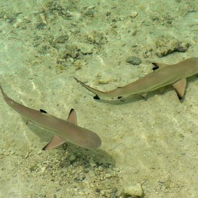 Two blacktip reef sharks in the lagoon