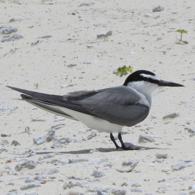 Grey-Backed Tern