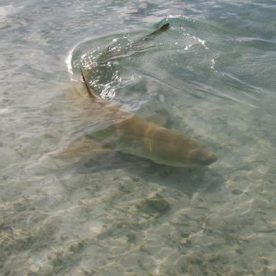 Sicklefin lemon shark nage dans la lagon