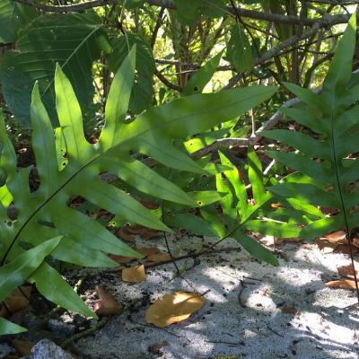 Metuapua'a growing in the shade on the beach on Rimatu'u