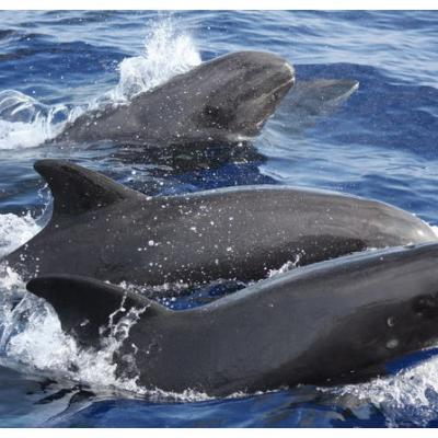 melon-headed whales, also called melon-headed dolphins