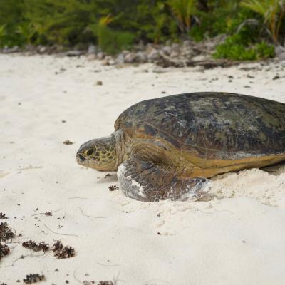 The green turtle lays its eggs regularly in French Polynesia
