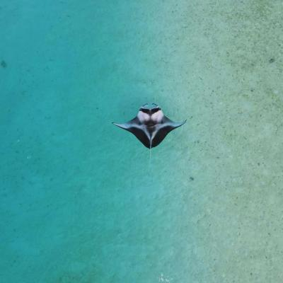 manta in the shallows