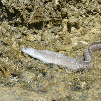 The Peppered Moray Eel inhabits the shallow intertidal areas of the reef flat