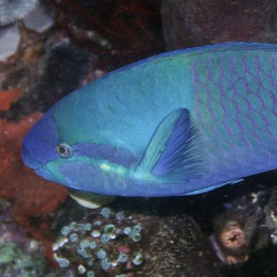 The 'common' parrotfish is anything but...