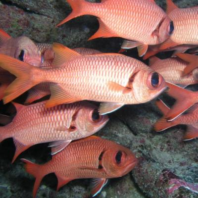 School of blotch-eye soldierfish