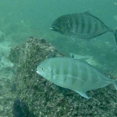 Sociable barred jackfish