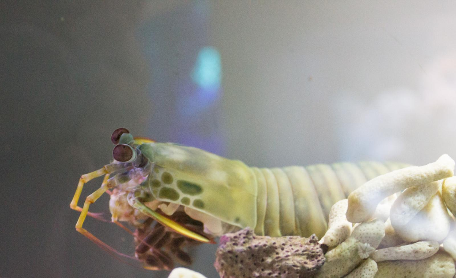 Mantis shrimp can live in aquariums