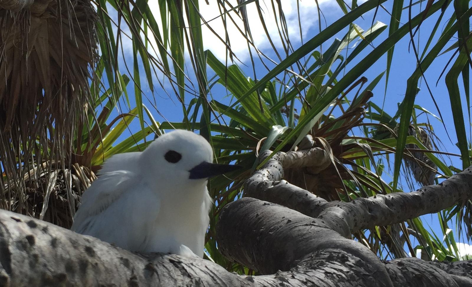 white tern on a pandanus branch